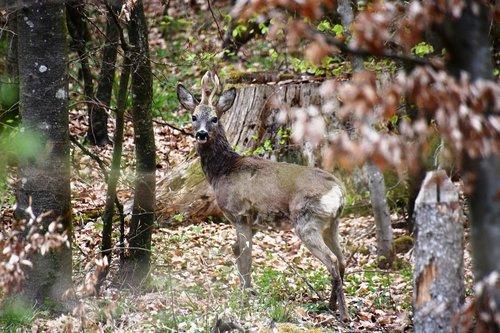 roe deer  ruminant  paarhufer