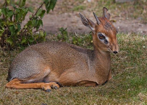 roe deer  animal  africa