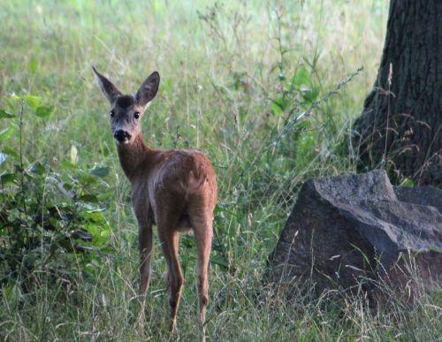 roe deer nature animal