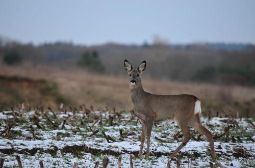 roe deer fallow deer wild