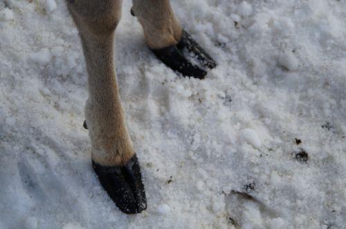 roe deer foot rehfuss