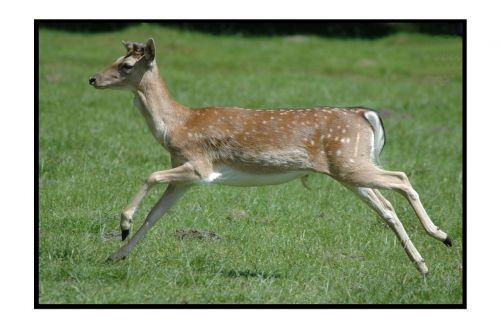 roe deer dülmen germany wild