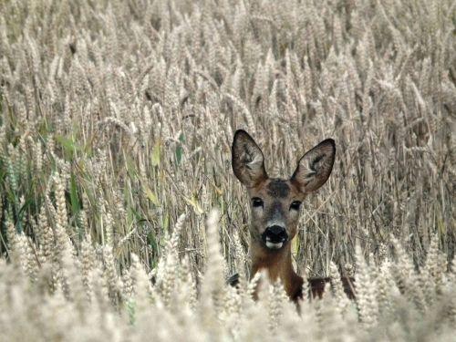roe deer wild forest