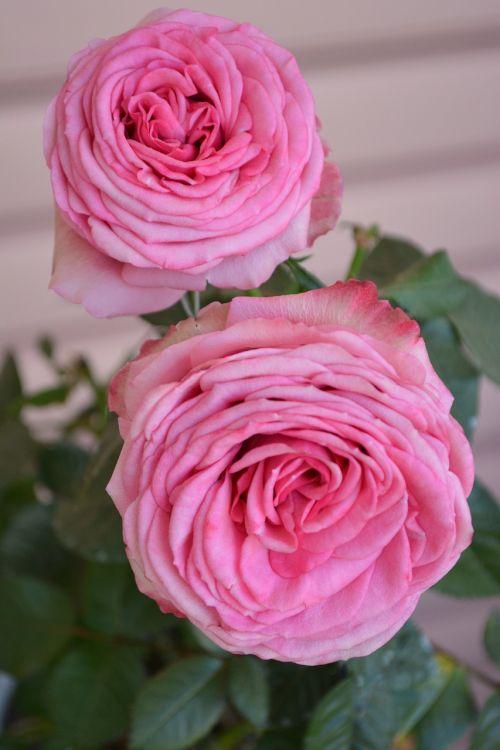 romantic,nature,rose,plant,beautiful,spring,tender,flowers,beautiful flower
