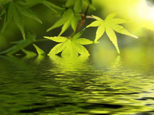 vanduo, ežeras, klevas, švieži & nbsp, žalia, žalias, japonų & nbsp, klevas, lapai, lapija, Gegužė, fonas, romantika, romantiškas klevas