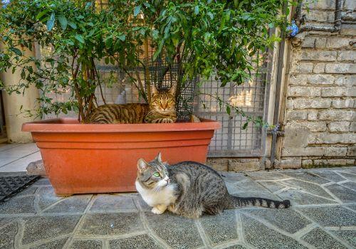 rome torre argentina cat