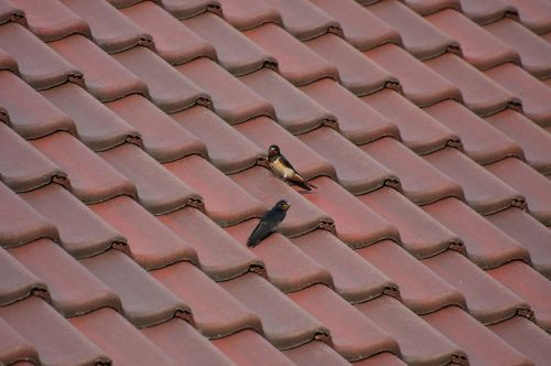 roof tile tiled roofs