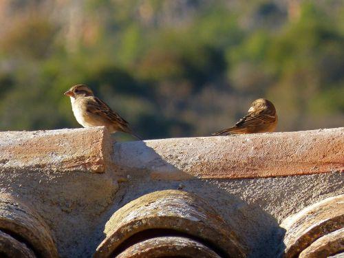roof sparrows birds