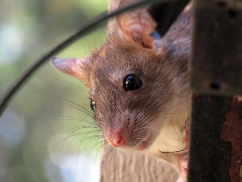 roof rat rat rodent