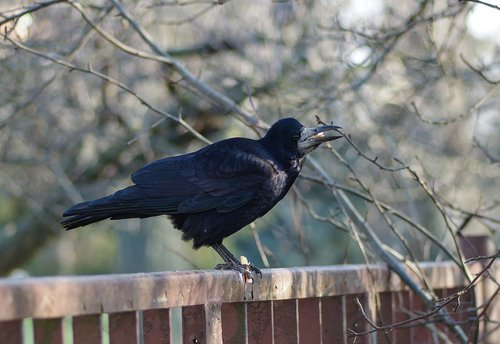 rook bird  bird  black bird