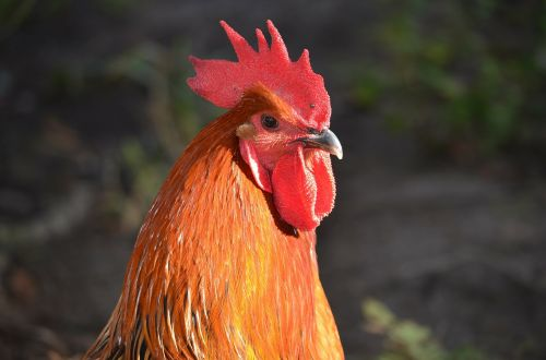 rooster head rooster head