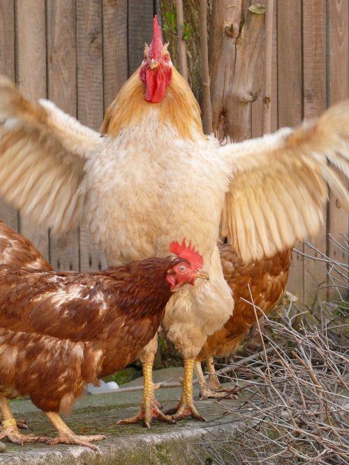 rooster hen leader