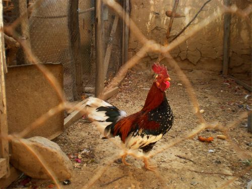 rooster cage poultry