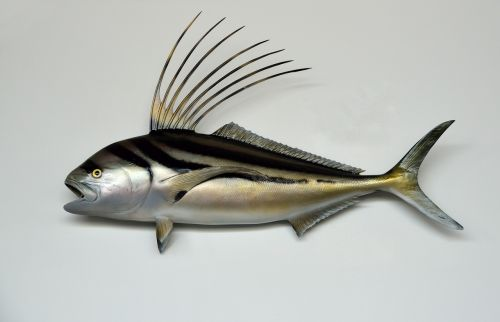 rooster fish mounted taxidermy