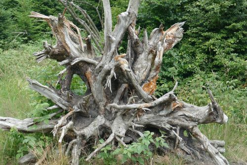 root large gigantic