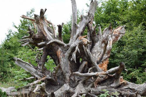 root quaint tree