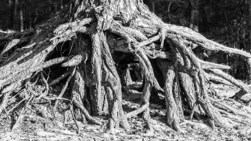 root tree root system