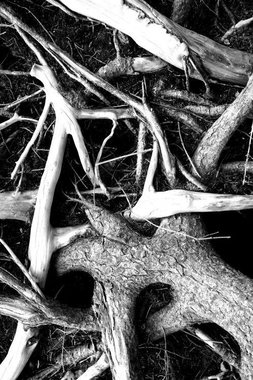šaknis,juoda balta,miškas,medžių medžiai,vaizdingas,juoda ir balta nuotrauka,mediena