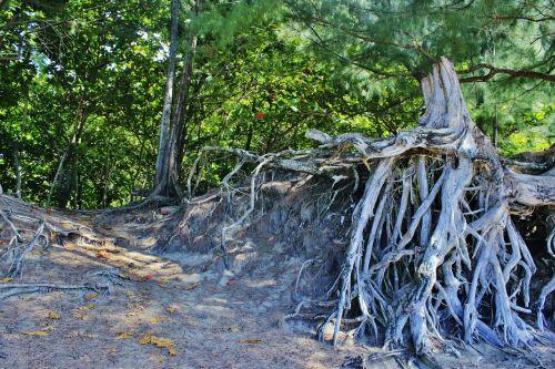 root tree root hanalei