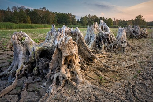 root  tree stump  dehydrated