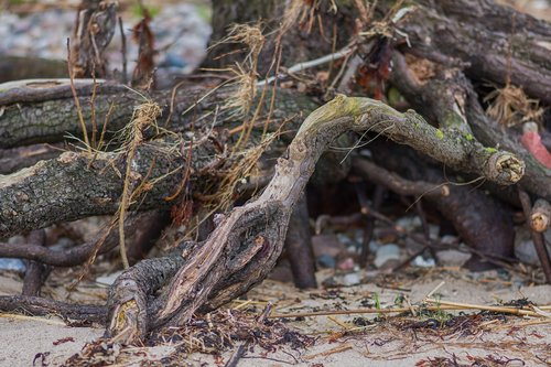 root  tree  old