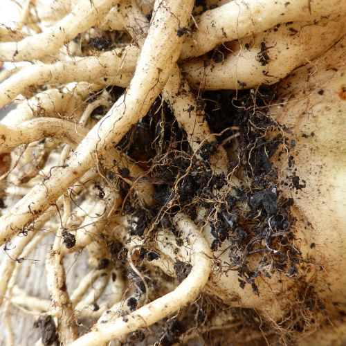 root tuber earth