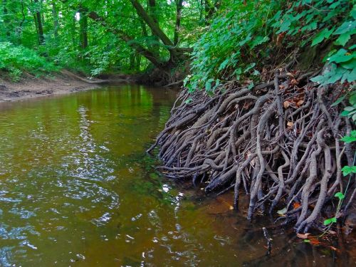 root forest river