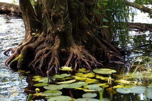 root tree lagoon