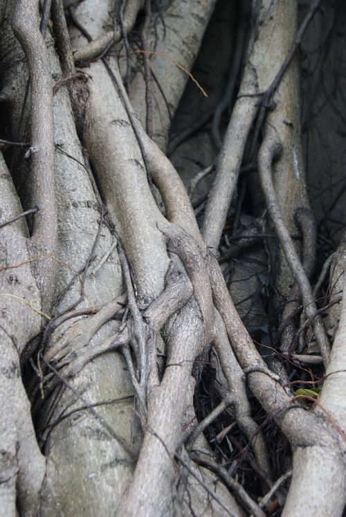 roots tree ficus