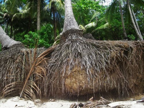 root coconut trees exotic