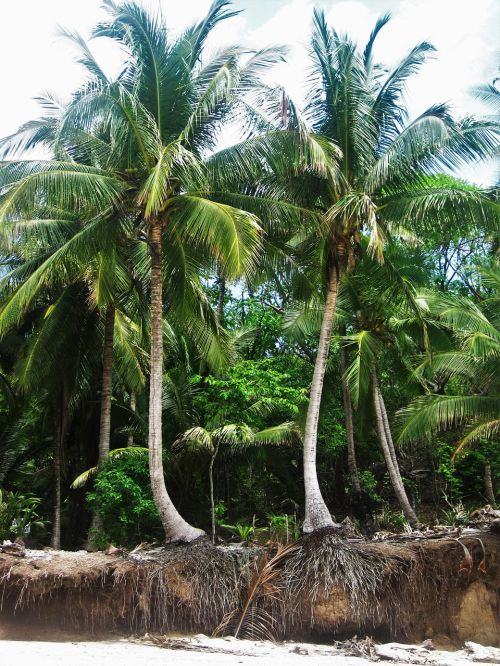 costa rica root coconut trees
