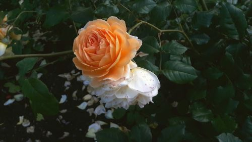 ros apricot apricot rose