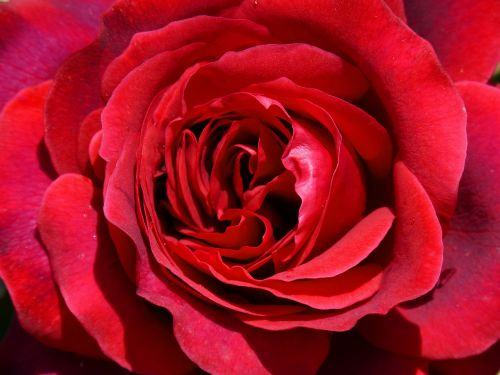 rosa red rose sant jordi
