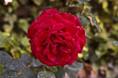 rosa rose roja