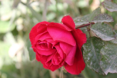 rosa love flower