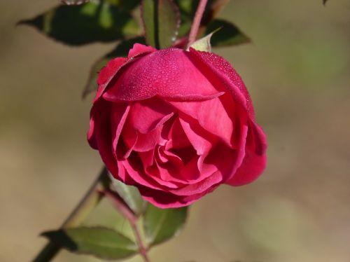 rosa rocio flower freshness