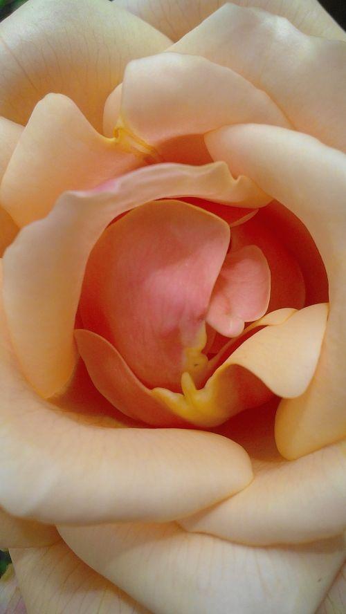 rosa petal garden
