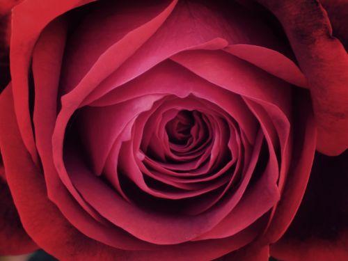 rosa detail texture