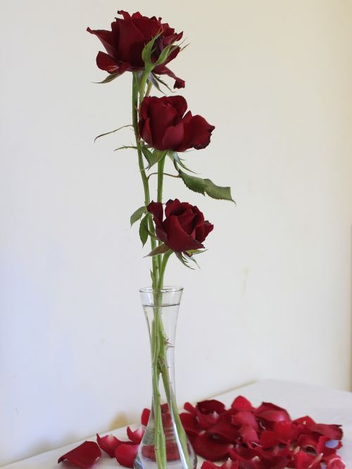 rosa nature flower