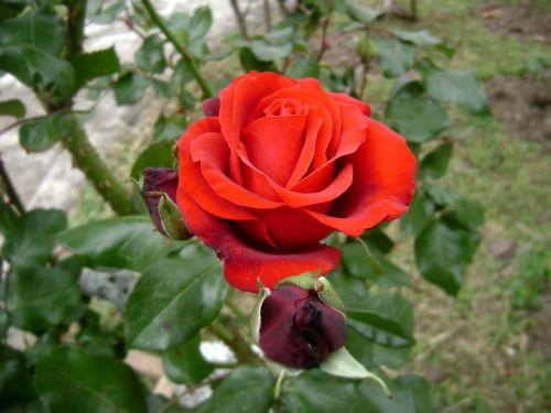rosa scarlet flower