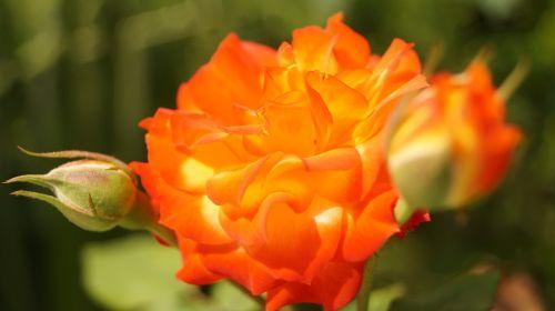 rosa orange flowers