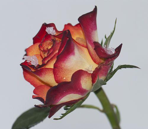 rosa rossa snow