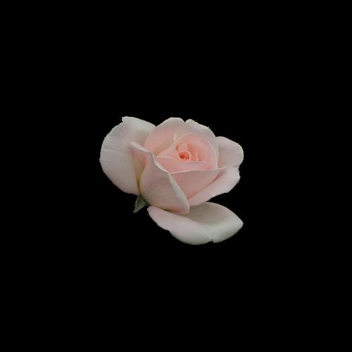 rosa flower pink petals