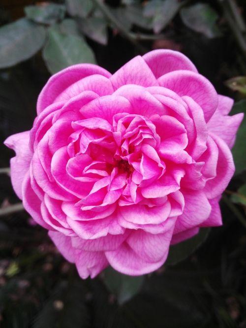 rosa pink flower