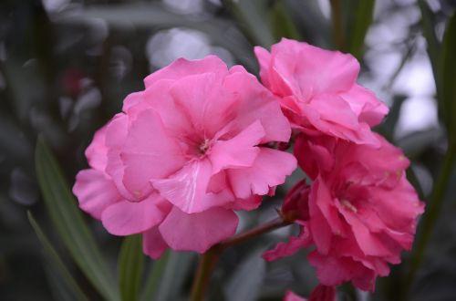 rosa flor leaves