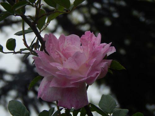 rosa pink petals sunset