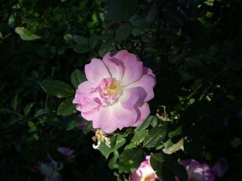 rosa pink flower penumbra