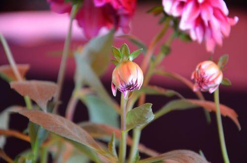 rosa flower nature