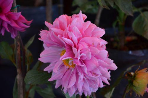 rosa flower spring
