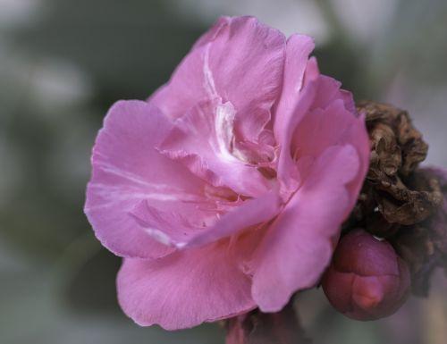 rosa flower flowers